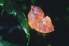 Leafwing Butterfly Royalty Free Stock Images