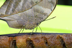 Leafwing Butterfly on a banana Stock Photos