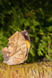 Leafwing butterfly bears Stock Image