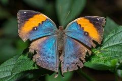 Leafwingsvlinder met open vleugels Stock Foto's