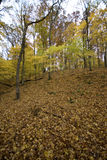 Leafy autumn forest Royalty Free Stock Photography