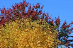 Leafy autumn tree Stock Photos