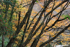 Leafy autumn trees. Scenic view of leafy autumn trees in forest Royalty Free Stock Image