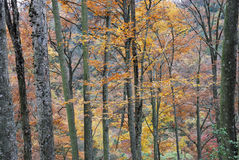 Leafy autumn trees in forest Stock Image