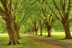 Leafy avenue of trees in park Royalty Free Stock Images