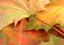 Leafy background. Made of a few fall maple leaves Stock Photos