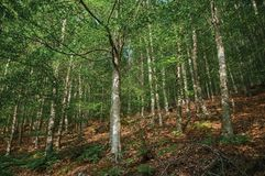 Leafy beech forest with several trees going up the hill. In a sunny day at the highlands of Serra da Estrela. The highest mountain range in continental royalty free stock photos