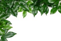 Leafy Border Stock Image