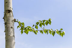 Leafy branch on birch tree Royalty Free Stock Photography