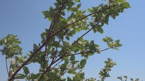 Leafy branches swaying in wind on blue sky. Branches with leaves and small flowers swaying back and forth in breeze against blue sky stock video footage