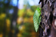 Leafy Bug on Tree Trunk Royalty Free Stock Image