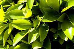 Leafy Bush 7. This is the image of a green, leafy bush taken juxtaposed against the blue sky Royalty Free Stock Photography