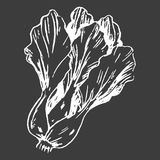 Leafy Chinese Cabbage Head Isolated White Outline Stock Photography