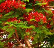 Leafy flamboyan tree with flowers and green buds. Green buds and flowers of flamboyan Royalty Free Stock Photos