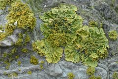 Leafy Foliose Lichens Growing On Ancient Stone Stock Photos