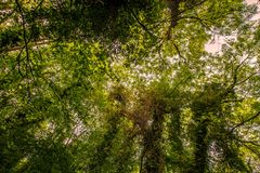 Leafy forest canopy. Leafy green canopy from tree tops in forest with sunlight Royalty Free Stock Photography