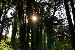Leafy forest with colossal trees in Sintra Mountains. Beautiful leafy forest with colossal trees and soft sun rays in Sintra Mountains in Lisbon, Portugal wood royalty free stock photos