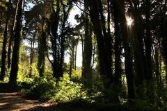 Leafy forest with colossal trees in Sintra Mountains. Beautiful leafy forest with colossal trees and soft sun rays in Sintra Mountains in Lisbon, Portugal wood stock images