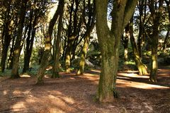 Leafy forest with colossal trees in Sintra Mountains. Beautiful leafy forest with colossal trees and soft sun rays in Sintra Mountains in Lisbon, Portugal wood royalty free stock photography