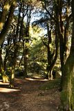 Leafy forest with colossal trees in Sintra Mountains. Beautiful leafy forest with colossal trees and soft sun rays in Sintra Mountains in Lisbon, Portugal wood stock photos