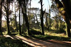 Leafy forest with colossal trees in Sintra Mountains. Beautiful leafy forest with colossal trees and soft sun rays in Sintra Mountains in Lisbon, Portugal wood royalty free stock photo