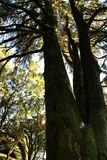 Leafy forest with colossal trees in Sintra Mountains. Beautiful leafy forest with colossal trees and soft sun rays in Sintra Mountains in Lisbon, Portugal wood stock photo