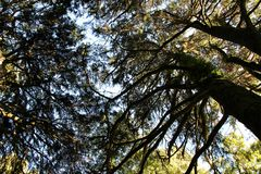 Leafy forest with colossal trees in Sintra Mountains. Beautiful leafy forest with colossal trees and soft sun rays in Sintra Mountains in Lisbon, Portugal wood stock image