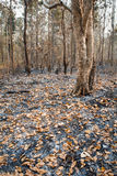 Leafy forest after fire Royalty Free Stock Photography