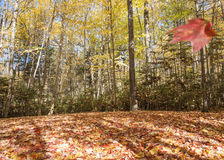 Leafy forest floor and falling leaf. Stock Photo