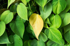 Leafy garden wall to photos by leaf in tropical country Stock Photo