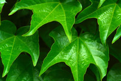 Leafy Green Royalty Free Stock Images