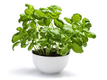 Leafy green basil plant Stock Photo