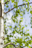 Leafy green birch tree Royalty Free Stock Photography
