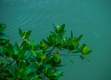 Leafy Green Branches Over A Miami Waterway royalty free stock photography