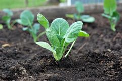 Freshly Planted New Brussels Sprouts in Garden Bed. Leafy green Brussels sprouts plant freshly planted in a garden bed royalty free stock photo