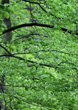 Leafy green foliage Royalty Free Stock Images