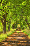 Leafy green lane. View down picturesque, sun-drenched lane of leafy green horse chestnut trees Stock Photos