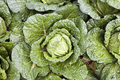 Leafy Green Lettuce Stock Photo