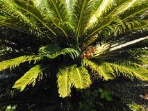 Leafy garden palm trees. Leafy green palm trees in the garden royalty free stock photography
