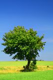 Leafy green tree in field Royalty Free Stock Photos
