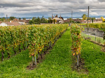 Leafy green vineyard Royalty Free Stock Images