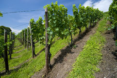 Leafy green vineyard Royalty Free Stock Photos