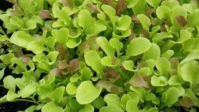Leafy greens in the garden Stock Photos