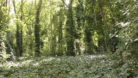 Leafy grove in the reserve. stock footage