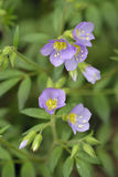 Leafy Jacob`s-ladder. Polemonium foliosissimum Stock Photography