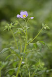 Leafy Jacob`s-ladder. Polemonium foliosissimum Royalty Free Stock Photos