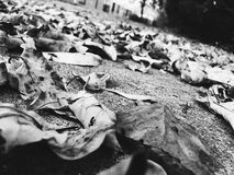 Leafy. Leaves on ground black and white royalty free stock photo