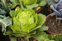 Leafy lettuce. In the home garden stock photography