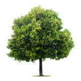 Leafy Linden tree. Single leafy Linden tree isolated on white background Stock Photo
