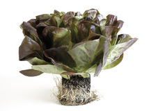 Leafy lollo rosso lettuce Royalty Free Stock Images
